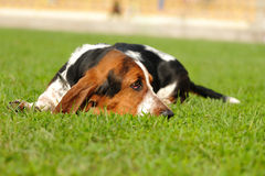 Basset Hound dog. On the green field royalty free stock photo