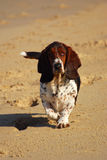 Basset hound dog. Front view of a purebred Basset hound with cute facial expression walking in sand towards the photographer stock image