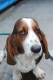 Basset Hound dog. Lovely basset hound dog sit and waiting to play but thinking in something Stock Photography