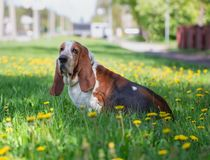 Basset hound, dog on the background of summer flowers and green grass. For a walk royalty free stock images