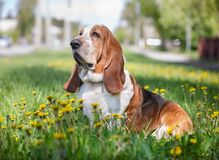 Basset hound, dog on the background of summer flowers and green grass. For a walk royalty free stock photos