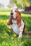 Basset hound, dog on the background of summer flowers and green grass. For a walk royalty free stock image