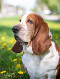 Basset hound, dog on the background of summer flowers and green grass. For a walk royalty free stock photo
