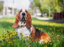 Basset hound, dog on the background of summer flowers and green grass. For a walk stock image