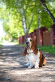 Basset hound, dog on the background of summer flowers and green grass. For a walk stock images