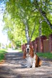 Basset hound, dog on the background of summer flowers and green grass. For a walk royalty free stock photography