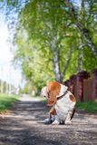 Basset hound, dog on the background of summer flowers and green grass. For a walk stock photo