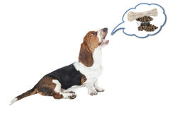 Basset hound dog barking Stock Image