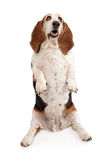 Basset Hound Dog Begging Royalty Free Stock Images