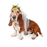Basset Hound Dog Bride Stock Images