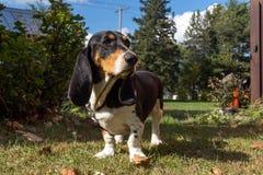Basset hound dog Stock Photos