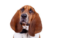 Basset hound dog face. Close up over white royalty free stock image