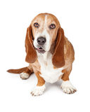 Basset Hound Dog Funny Expression. Cute adult Basset Hound breed dog with a funny expression on his face. Isolated on white stock photography