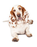 Basset Hound Dog With Funny Expression. A pretty Basset Hound dog with spotted ears laying down with tongue sticking out Stock Image