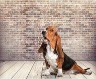 Basset hound stock image