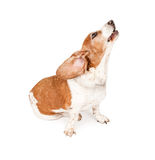 Basset Hound Dog Howling Stock Photos