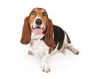 Basset Hound Dog Isolated on White. Basset Hound dog looking up and isolated on white stock photography
