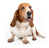 Basset Hound Dog Isolated on White Royalty Free Stock Photography