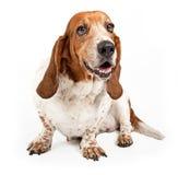 Basset Hound Dog Isolated on White. Basset Hound dog with happy face isolated on white royalty free stock photography