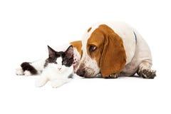 Basset Hound Dog And Kitten Royalty Free Stock Photo