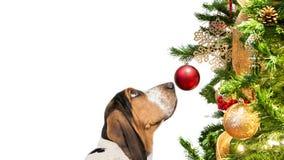 Basset Hound Dog Looking At Christmas Tree stock image