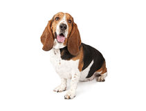 Basset Hound Dog Looking to the side. And and isolated on white stock image
