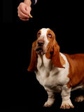 Basset hound dog looking at a treat Royalty Free Stock Images