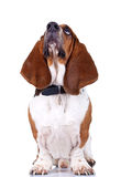 Basset Hound dog looking up. And isolated on white royalty free stock photography
