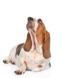 Basset hound dog looking up. isolated on white background.  Stock Photos