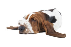 Basset hound dog lying. On a white background royalty free stock image