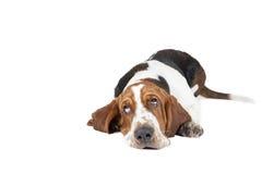 Basset hound dog lying Stock Photos