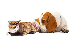 Basset Hound Dog And Mad Cat. A curious Basset Hound Dog laying next to an angry Calico cat stock photos