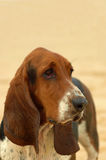 Basset hound dog portrait Royalty Free Stock Photos