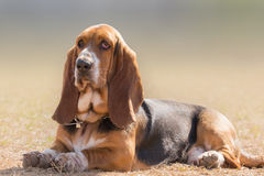Basset hound dog portrait having a serious, yet funny cute look. royalty free stock images