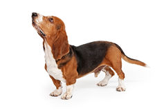 Basset Hound Dog Profile. Profile of a Basset Hound dog looking up isolated on white stock image