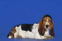 Basset Hound Dog Relaxing. Over blue background stock photos