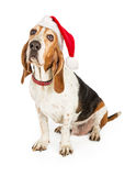 Basset Hound Dog Santa Claus. A funny Basset Hound dog with droopy ears wearing a red santa hat and collar royalty free stock image