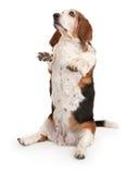 Basset Hound Dog Sitting Up Stock Photography