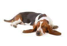 Basset Hound dog sleeping Stock Images