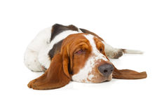 Basset Hound dog sleeping. Isolated on white background royalty free stock photos