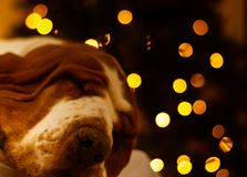 Basset Hound dog sleeping. Straight on picture of Basset Hound dog sleeping and small lights at the back royalty free stock photos