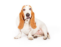 Basset Hound Dog Smirking. A cute Basset Hound dog sitting with a funny smirk on his face royalty free stock images