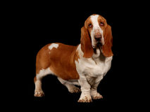 Basset hound dog standing up Royalty Free Stock Photo