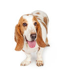 Basset Hound Dog Tongue Out. A cute adult Basset Hound dog standing with mouth open and tongue out stock image