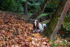 Basset Hound Dog Walks on the Autumn Leaves. stock photography