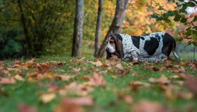 Basset Hound Dog Walks on the Autumn Leaves. Portrait. stock photos