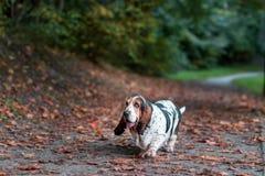 Basset Hound Dog Walks on the Autumn Leaves. Portrait royalty free stock images