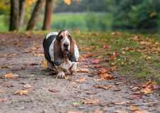 Basset Hound Dog Walks on the Autumn Leaves. Portrait. royalty free stock photos
