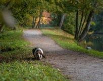 Basset Hound Dog Walks on Path. Basset Hound Dog Walks on Path Royalty Free Stock Photo