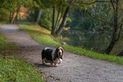 Basset Hound Dog Walks on Path. Basset Hound Dog Walks on Path Royalty Free Stock Image